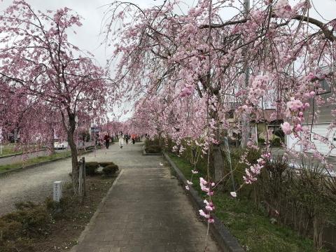 しだれ桜並木道