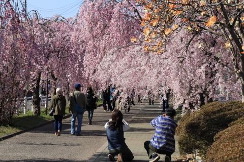しだれ桜と観光客
