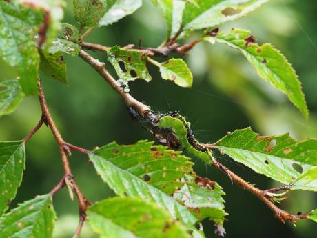 サクラケンモン幼虫