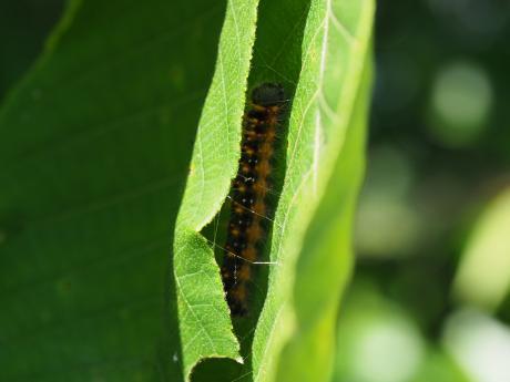 ネグロトガリバ幼虫2