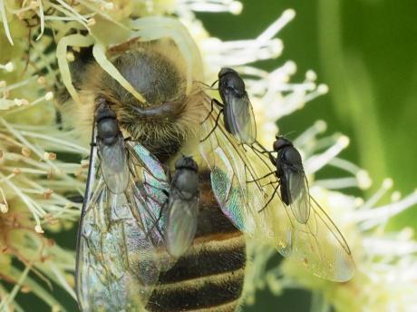セイヨウミツバチ&アズチグモ&ハエの一種2
