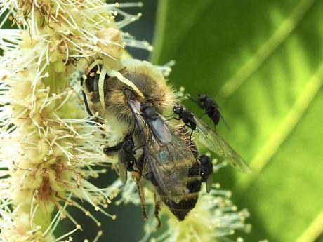 セイヨウミツバチ&アズチグモ&ハエの一種