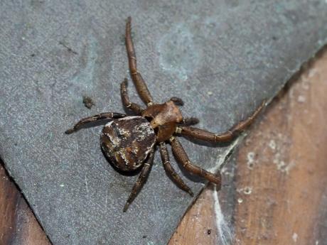 オビボソカニグモ