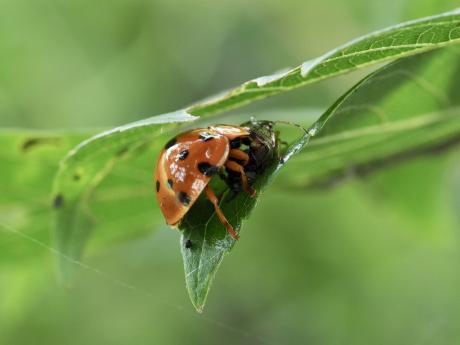 ハラグロオオテントウ脱糞&チャバネアオカメムシ幼虫