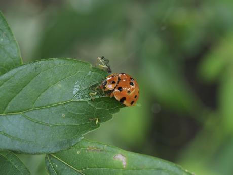 ハラグロオオテントウ&チャバネアオカメムシ幼虫4