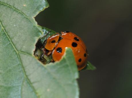ハラグロオオテントウ&チャバネアオカメムシ幼虫