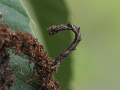 ヘリグロヒメアオシャク幼虫