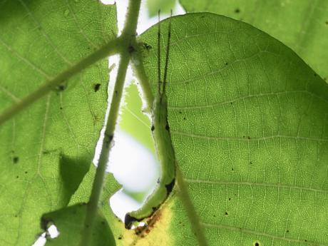 ニッコウシャチホコ幼虫2