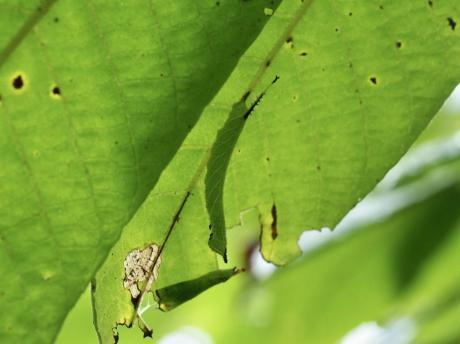 エゾスズメ幼虫