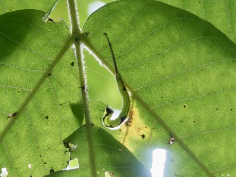 ニッコウシャチホコ幼虫