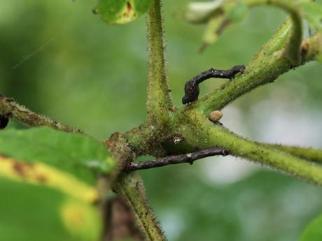 ヨツメエダシャク幼虫&不明シャクガ幼虫
