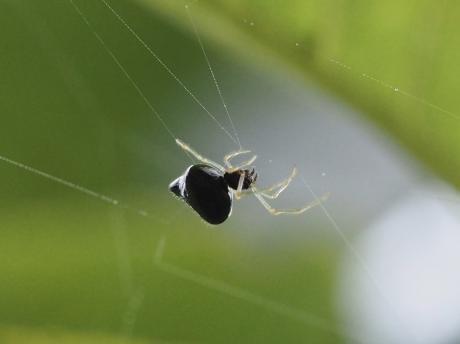 ギボシヒメグモ