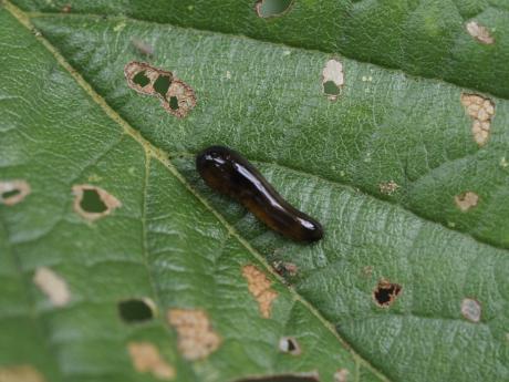 オウトウナメクジハバチ幼虫