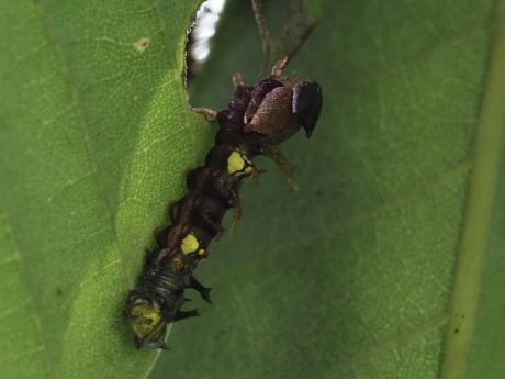 ギンシャチホコ幼虫脱皮