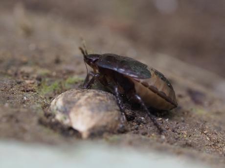 ツチカメムシ幼虫6