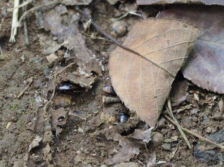 ツチカメムシ幼虫4