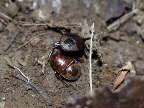 ツチカメムシ幼虫2