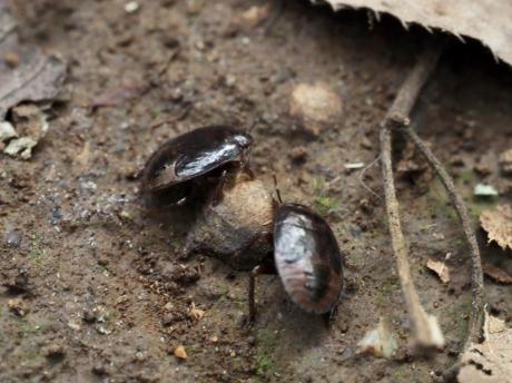 ツチカメムシ幼虫3