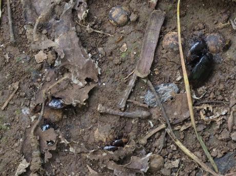 ツチカメムシ&幼虫