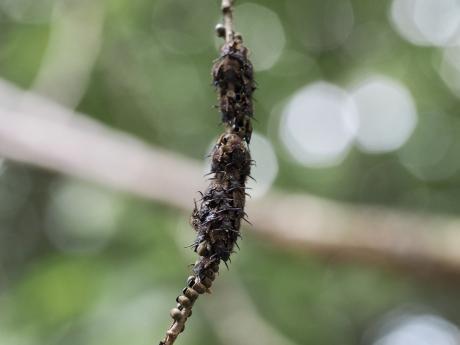 オオツノトンボ幼虫2