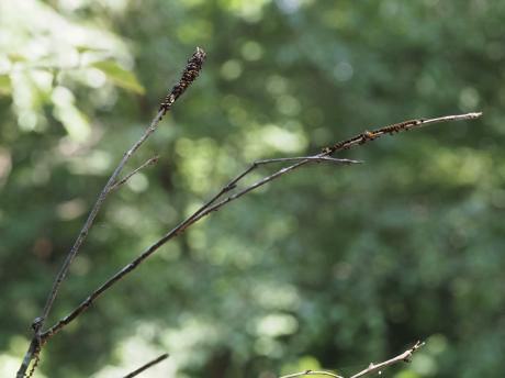 オオツノトンボ卵塊&幼虫