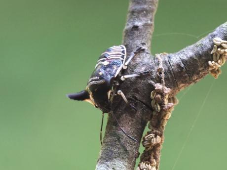 ウシカメムシ幼虫