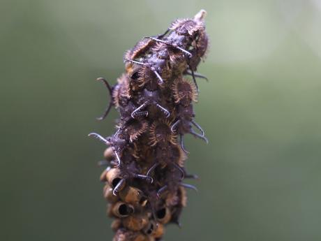 オオツノトンボ幼虫