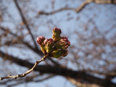 N_studiomimosa桜ツボミ