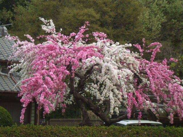 二色咲いてる 桃の花! 通勤ルートのルーティンも 時々変化を与えた方が‥‥