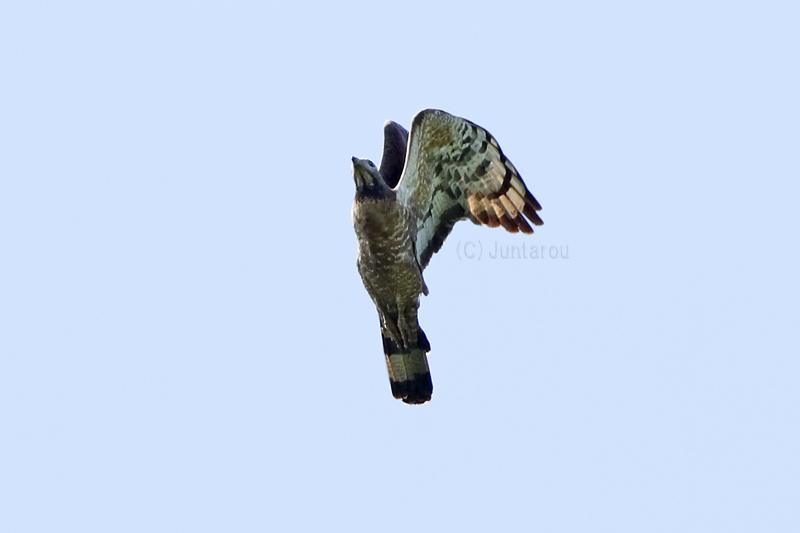 ハチクマ成鳥♂ T21_2134
