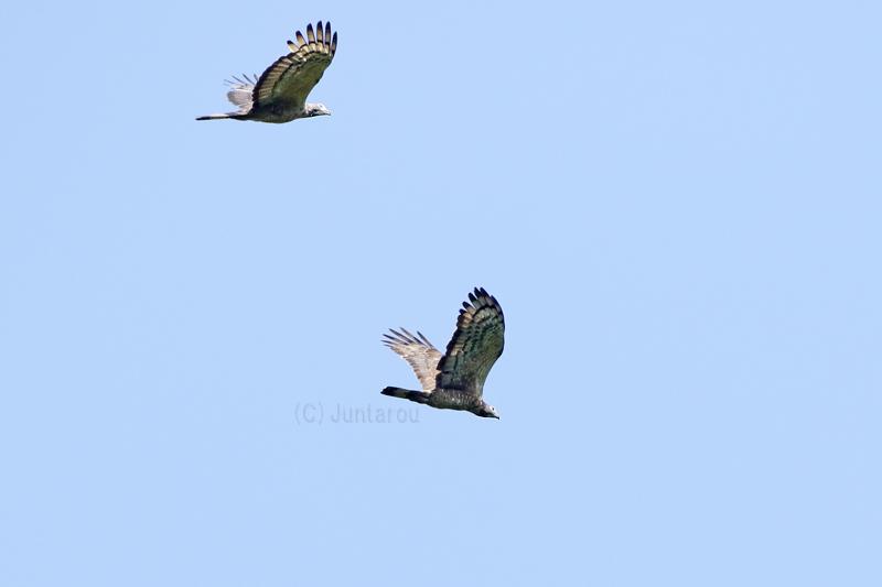 ハチクマ成鳥♂ T21_2282