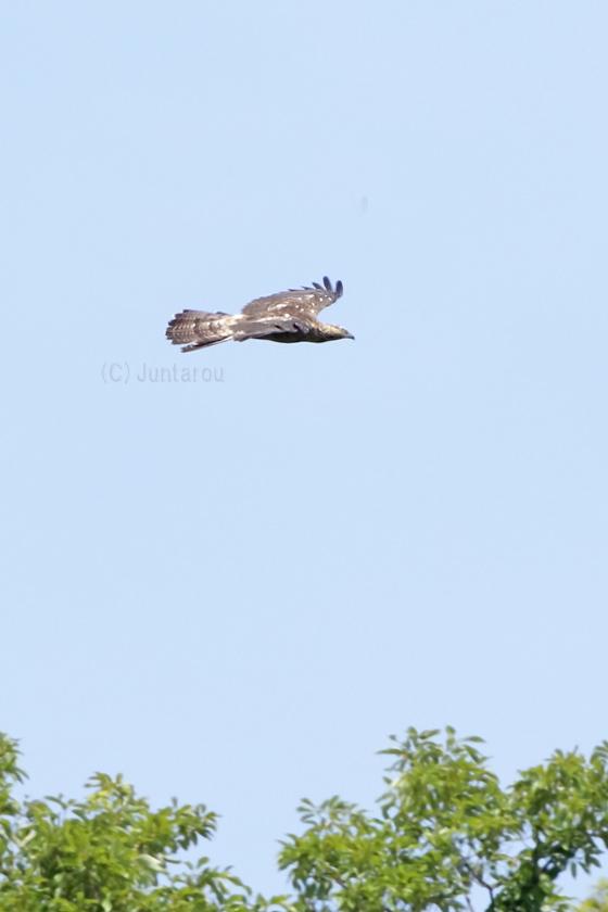 ハチクマ成鳥♀ T21_2407