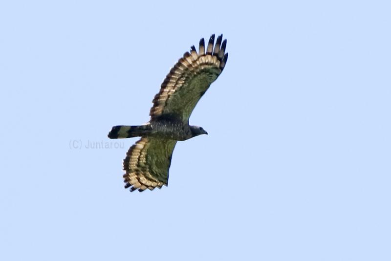 ハチクマ成鳥♂ T21_2906