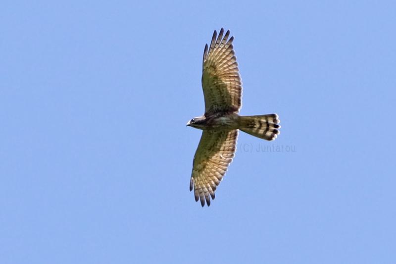 サシバ幼鳥 T21_2921