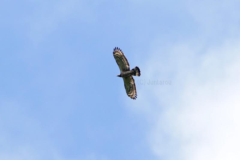 ハチクマ成鳥♂ T21_3319