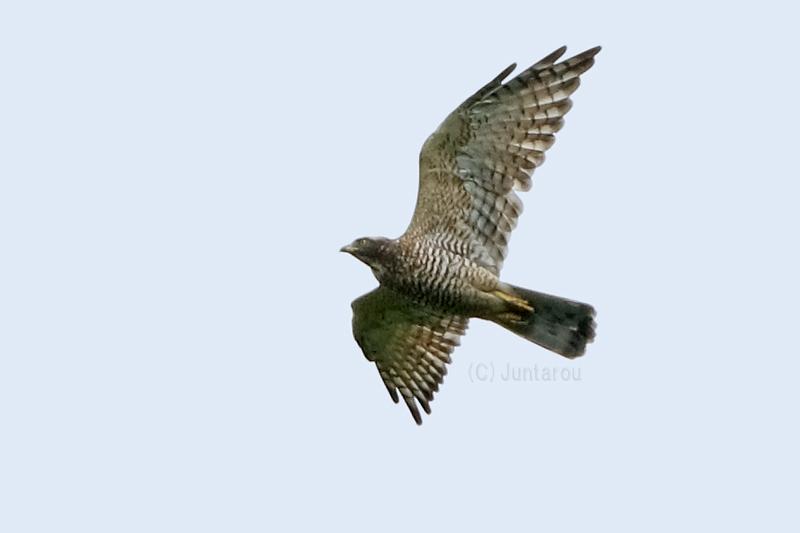 サシバ成鳥 T21_8734
