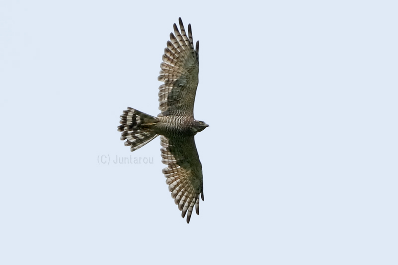 サシバ成鳥 T21_8740