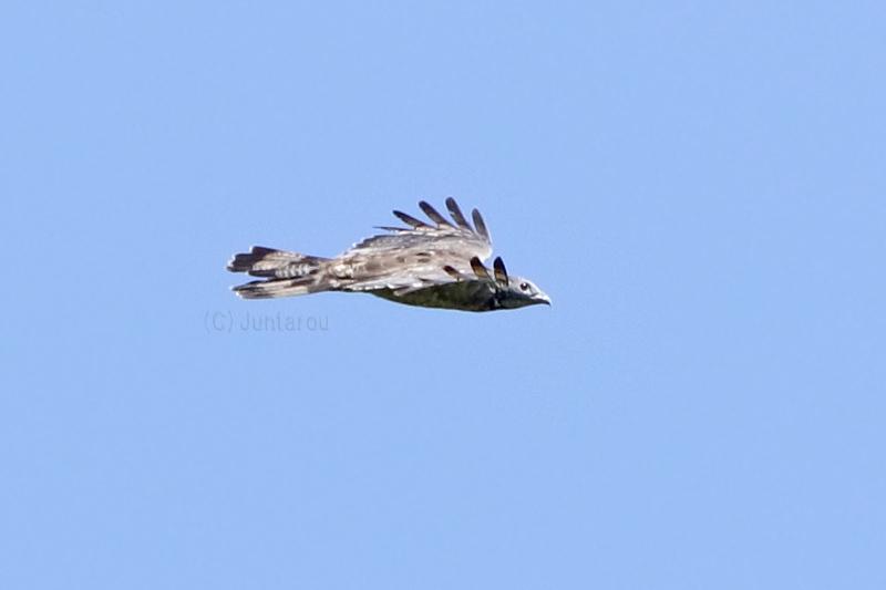 ハチクマ成鳥♂ T21_8908
