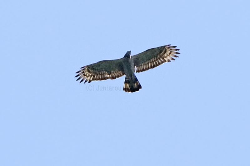 ハチクマ成鳥♂ T21_9351