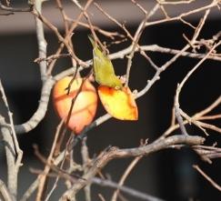 201225005熟した柿の実を食べるメジロ