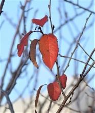 020紅葉した桜の葉が残っていた