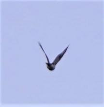 201225011上空通過したハイタカ