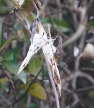 201225023テイカカズラの種子