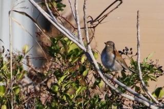 105落葉樹に止まるシロハラ♂