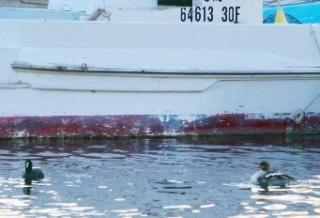 103漁船のそばで見かけたオオバンとウミアイサ