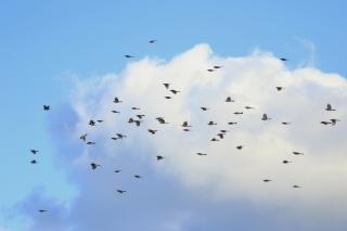 115群れで移動中のヒヨドリ
