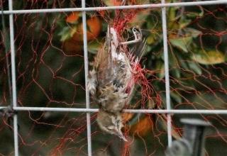 128防鳥網に絡んだシロハラ(すでに絶命)