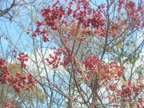 206ゴンズイの赤い果皮と種子