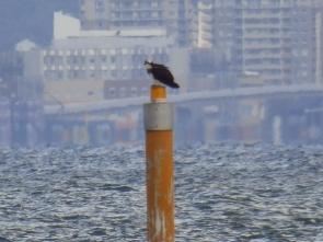 319浅瀬を示す標識灯に止まるミサゴ