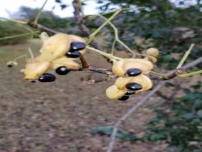 403ゴンズイの白い果皮と種子